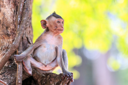 Little Monkey (Crab-eating macaque) on tree in Thailand photo