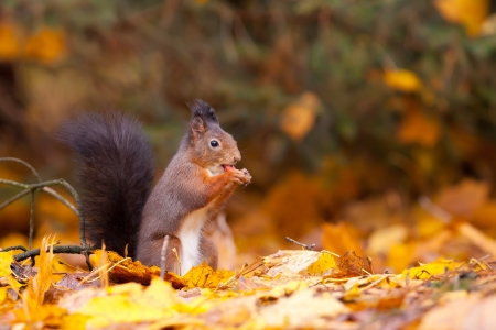 Red Squirrel in the forest eating a peanut  Stock Photo - 13836636