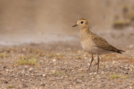 pluvialis: Golden Plover  Pluvialis apricaria   Stock Photo