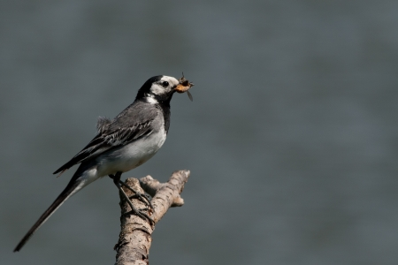 Wagtail on a twig with insects in its beak  photo