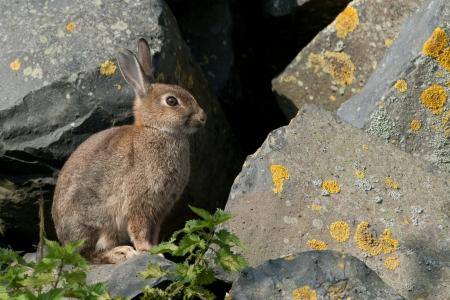 European wild rabbit Reklamní fotografie