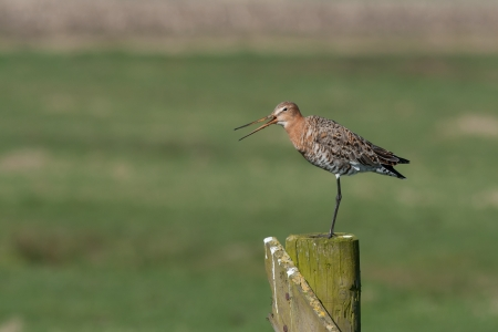 A Black tailed godwit on a pole