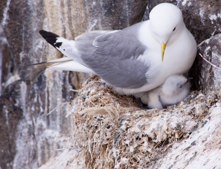 Kittiwake on a nest with a chick and egg  photo