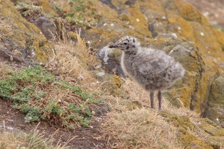 lesser: Lesser black-backed gull chick