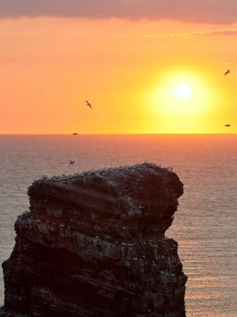 Gannet colony on a rock with a setting sun in the background  photo