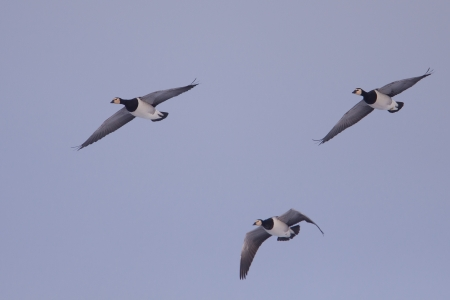 Barnacle Geese in flight Stock Photo - 13836520