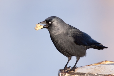 Jackdaw with cake in its beak  photo