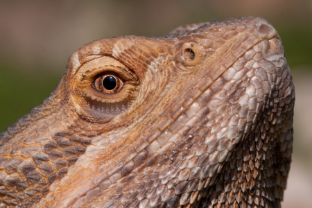 lizard in field: Drag�n barbudo de cerca