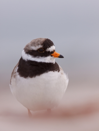 A close-up of a ringed plover  photo