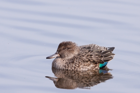 Eurasian Teal or Common Teal  Anas crecca   photo
