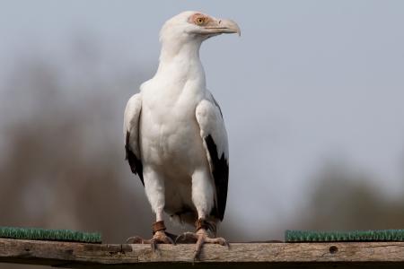 Palm-nut Vulture  photo