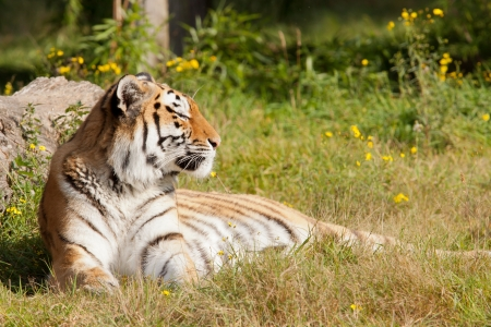 Tiger resting in a field  photo