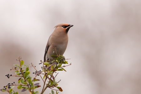 Bohemian Waxwing on a branch  photo