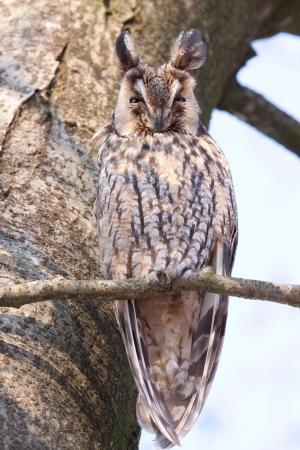 Long-eared Owl sleeping in a tree  photo
