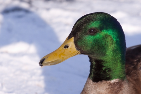 Portrait of a male mallard photo
