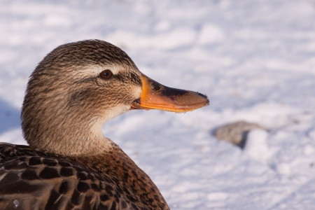 Portrait of a female mallard  photo