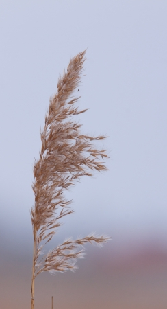 cane plumes: Reed plume