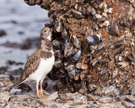 Ruddy Turnstone  Arenaria interpres  eating a clam  photo