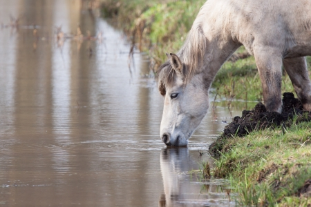 Old horse drinking from a stream  photo