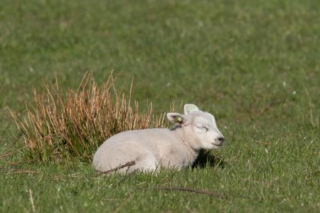 Little lamb sleeping in a meadow  photo