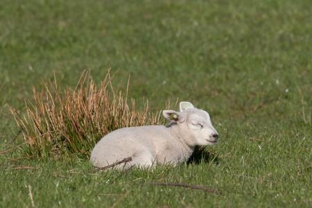 Little lamb sleeping in a meadow  photo