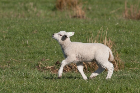 Little lamb walking with its chin up high  photo