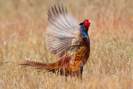 flapping: Pheasant flapping its wings  Stock Photo