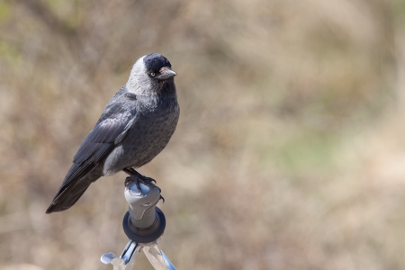 Jackdaw on a bicycle steer  photo