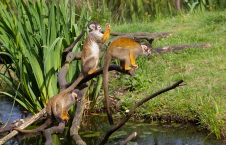 Three common squirrel monkey playing Stock Photo - 13793170