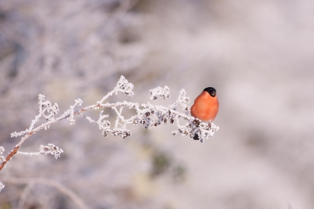 Bullfinch on a frosty branch