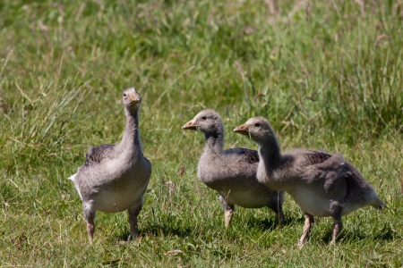 Greylag goose laying in a field  Stock Photo - 13815931