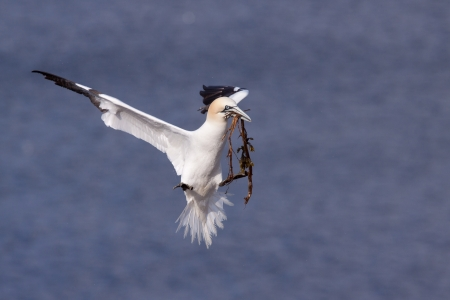 Gannet flying with nesting material in its beak  Stock Photo - 13815926