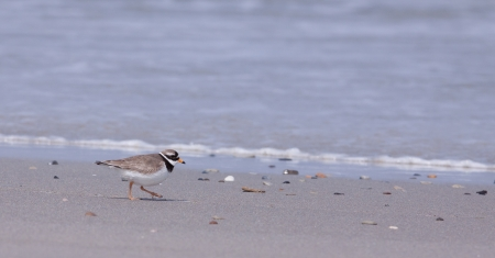 ringed: Ringed plover walking on a beach