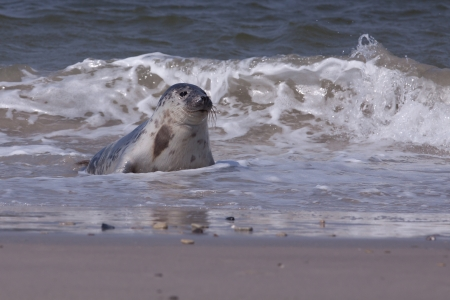 Young grey seal in the surf photo