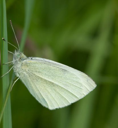 pieris: small white  Pieris rapae