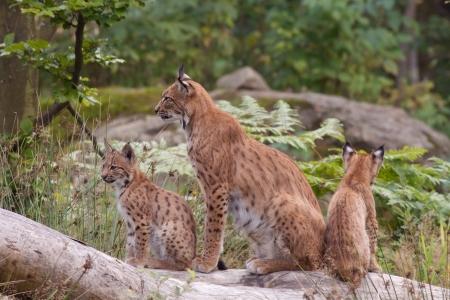 Eurasian lynx  Lynx lynx  with cubs