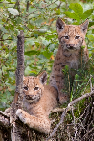 Two lynx cubs  photo