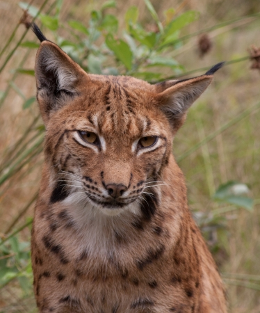 Portrait of a lynx  photo