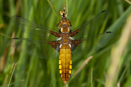 Broad-bodied Chaser Libellula depressa photo