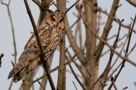 Long-eared Owl in a tree photo