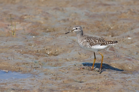 Wood Sandpiper on the muddy shore  Tringa glareola  photo