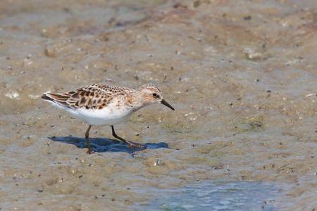 Little Stint  Calidris minuta  walking on the muddy shore Stock Photo - 13843778