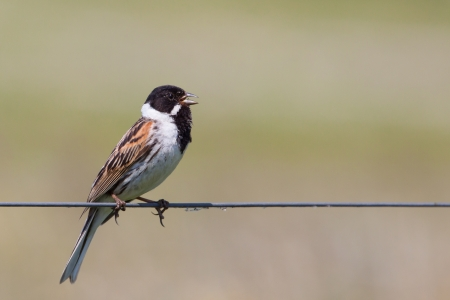 Male Reed Bunting  Emberiza schoeniclus  singing on a wire Stock Photo - 13843766