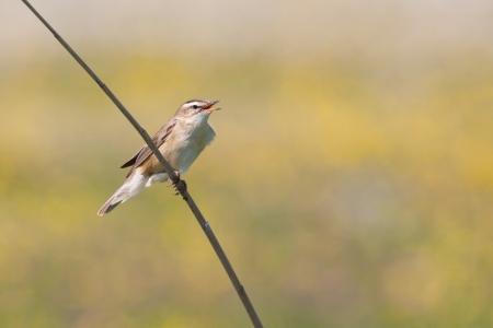 A Sedge Warbler  Acrocephalus schoenobaenus  singing  on the reed Stock Photo - 13843777