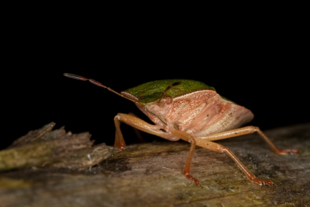 green shield bug: Green Shield Bug  Stock Photo