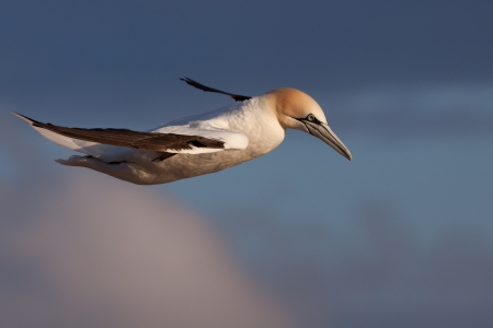helgoland: Gannet in flight at Helgoland  Stock Photo