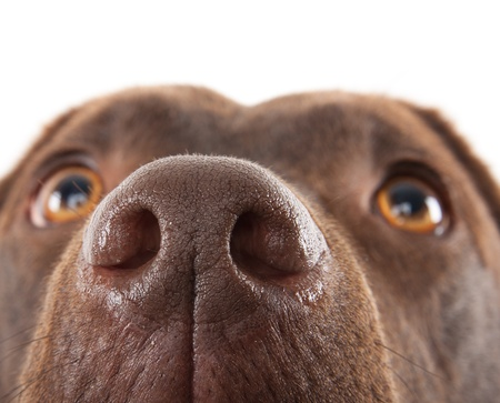 noses: A brown labrador nose close-up against a white background