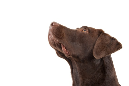A brown labrador looking up against a white background