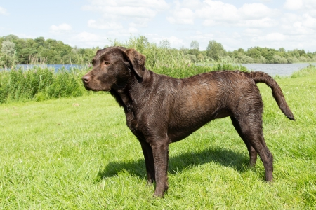 A wet brown labrador is standing in a grass field
