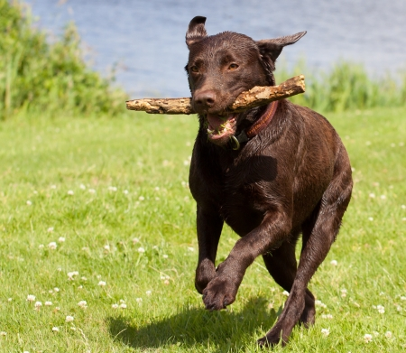 A Brown labrador running with a stick in its mouth in a grass field photo